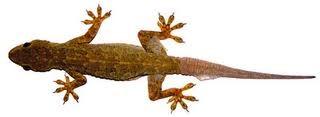 Pest Fact Sheet – Common House Lizards