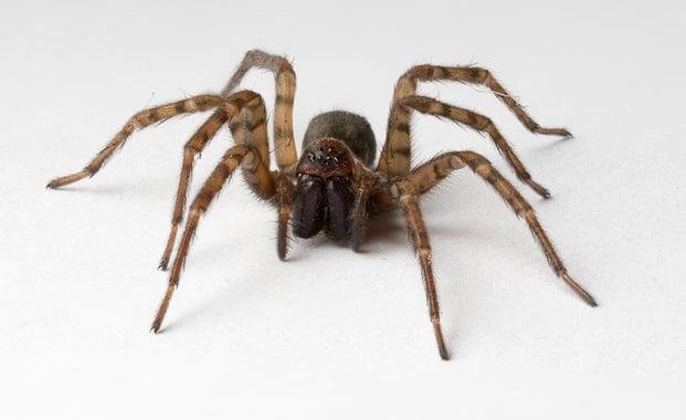 Pest Fact Sheet – Spider