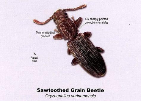 Pest Fact Sheet - Sawtoothed Grain Beetle